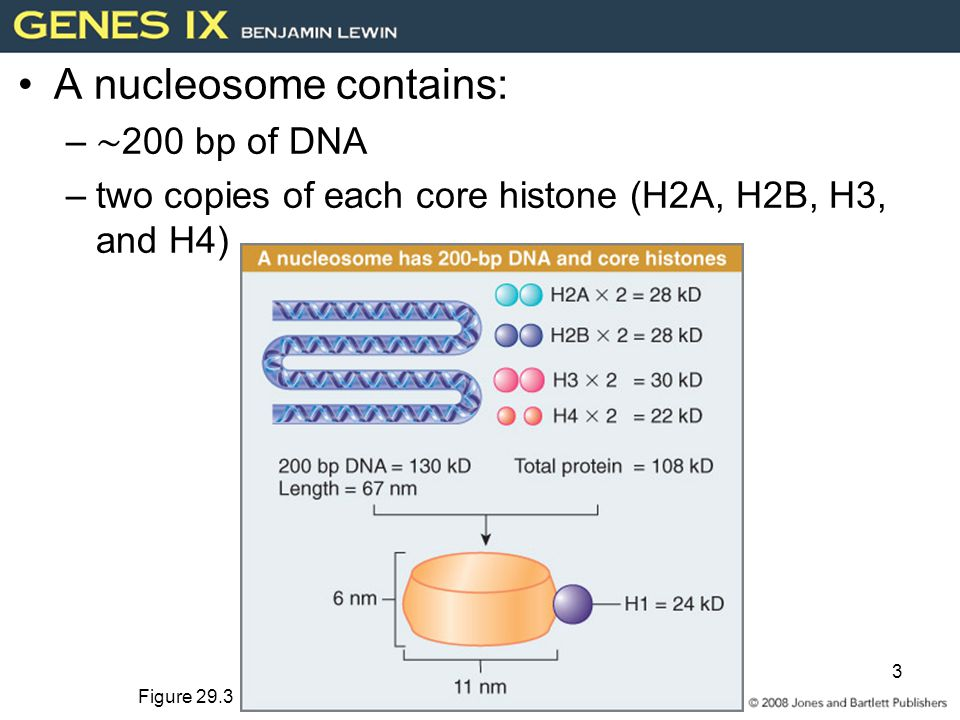 3 A nucleosome contains: – ∼ 200 bp of DNA –two copies of each core histone (H2A, H2B, H3, and H4) Figure 29.3