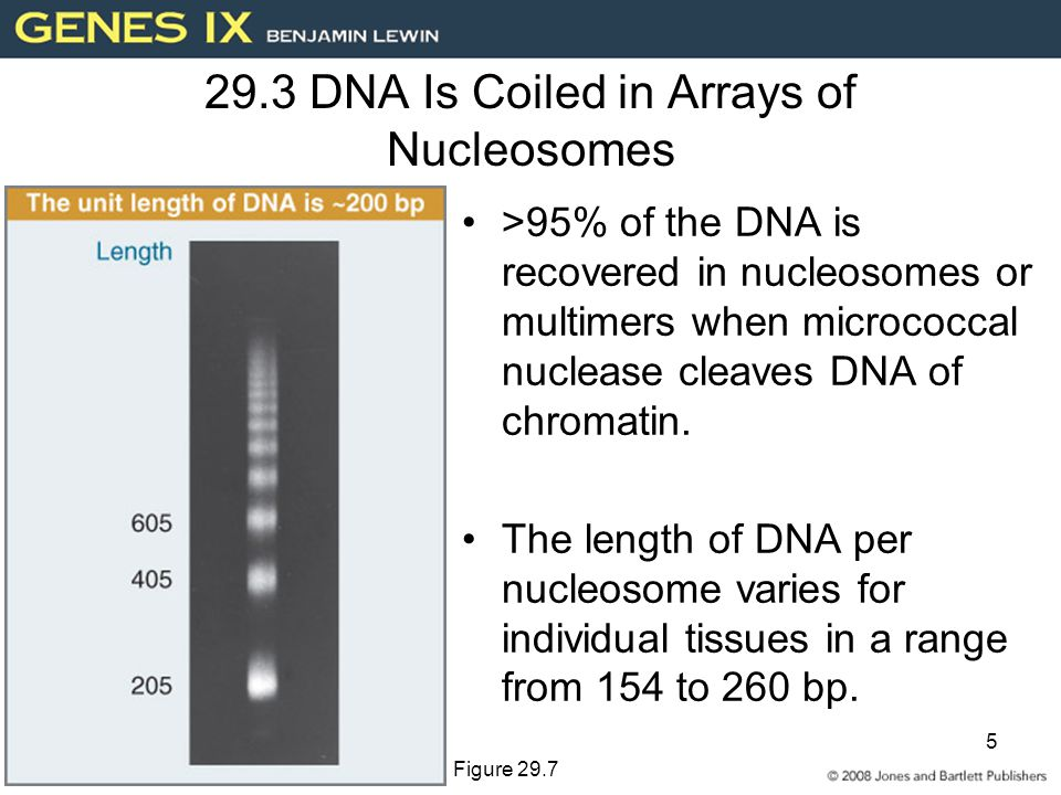 5 29.3 DNA Is Coiled in Arrays of Nucleosomes >95% of the DNA is recovered in nucleosomes or multimers when micrococcal nuclease cleaves DNA of chromatin.