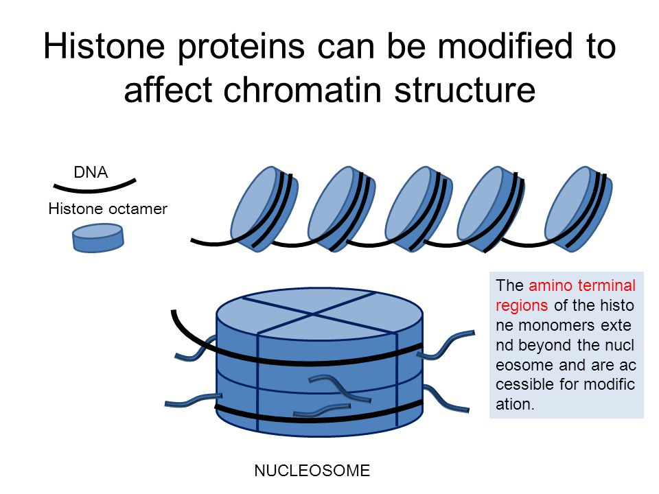 Histone proteins can be modified to affect chromatin structure DNA Histone octamer The amino terminal regions of the histo ne monomers exte nd beyond the nucl eosome and are ac cessible for modific ation.