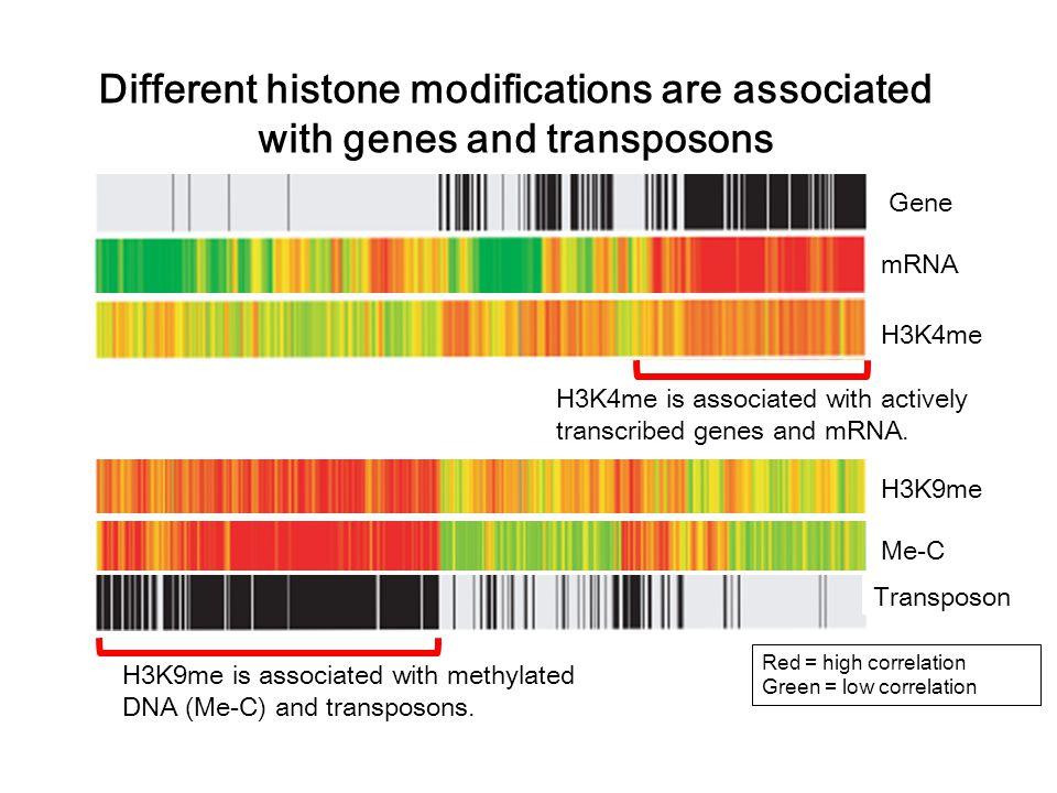 Different histone modifications are associated with genes and transposons Red = high correlation Green = low correlation H3K9me is associated with methylated DNA (Me-C) and transposons.