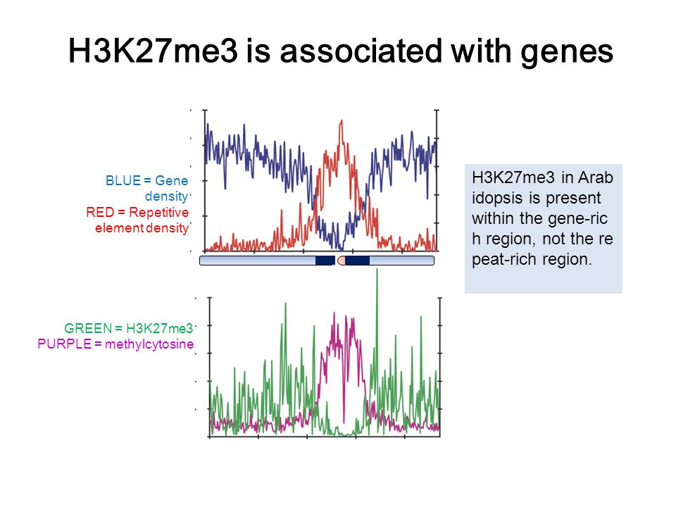 H3K27me3 is associated with genes GREEN = H3K27me3 PURPLE = methylcytosine BLUE = Gene density RED = Repetitive element density H3K27me3 in Arab idopsis is present within the gene-ric h region, not the re peat-rich region.
