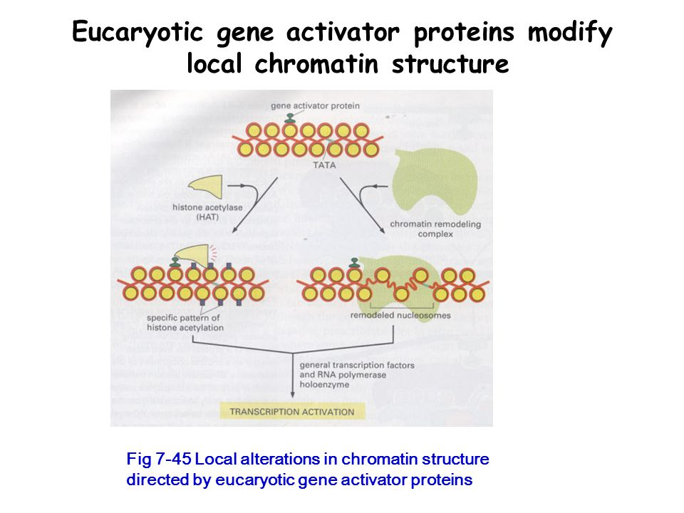 Eucaryotic gene activator proteins modify local chromatin structure Fig 7-45 Local alterations in chromatin structure directed by eucaryotic gene activator proteins