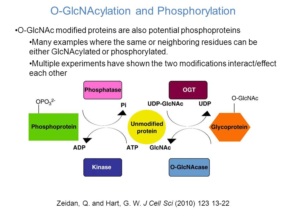 O-GlcNAcylation and Phosphorylation O-GlcNAc modified proteins are also potential phosphoproteins Many examples where the same or neighboring residues