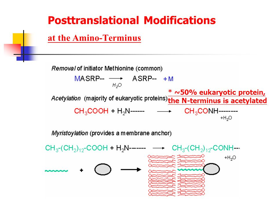 Posttranslational Modifications at the Amino-Terminus * ~50% eukaryotic protein, the N-terminus is acetylated