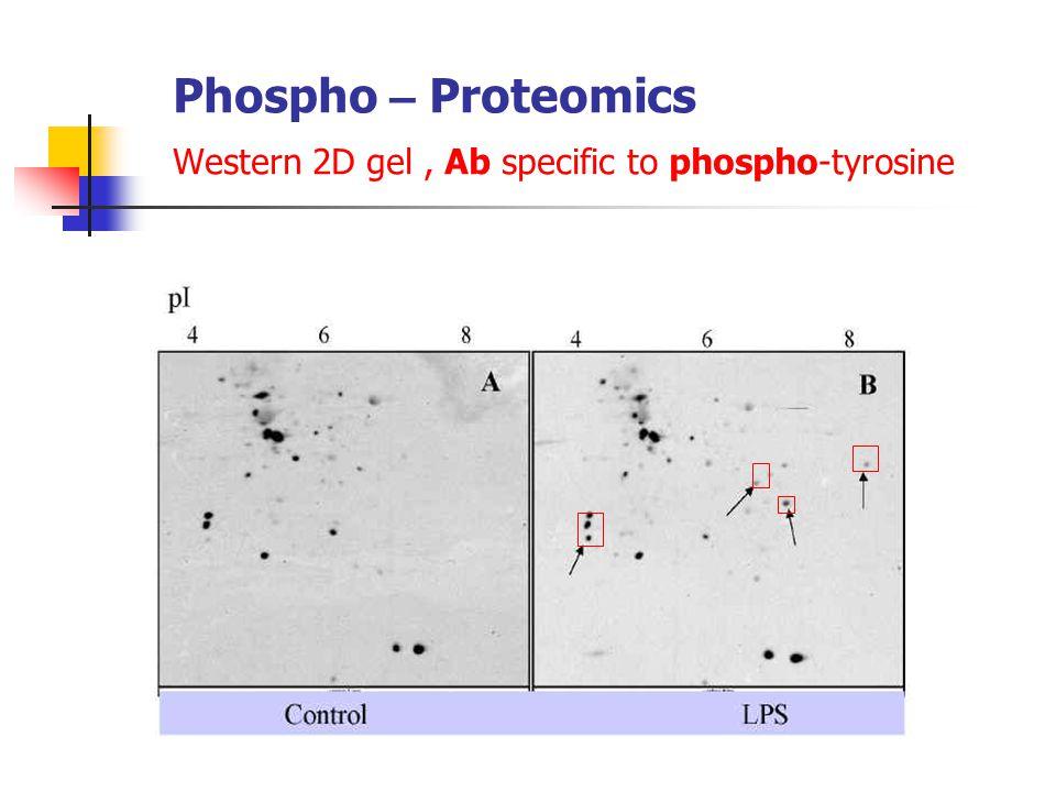 Phospho – Proteomics Western 2D gel, Ab specific to phospho-tyrosine
