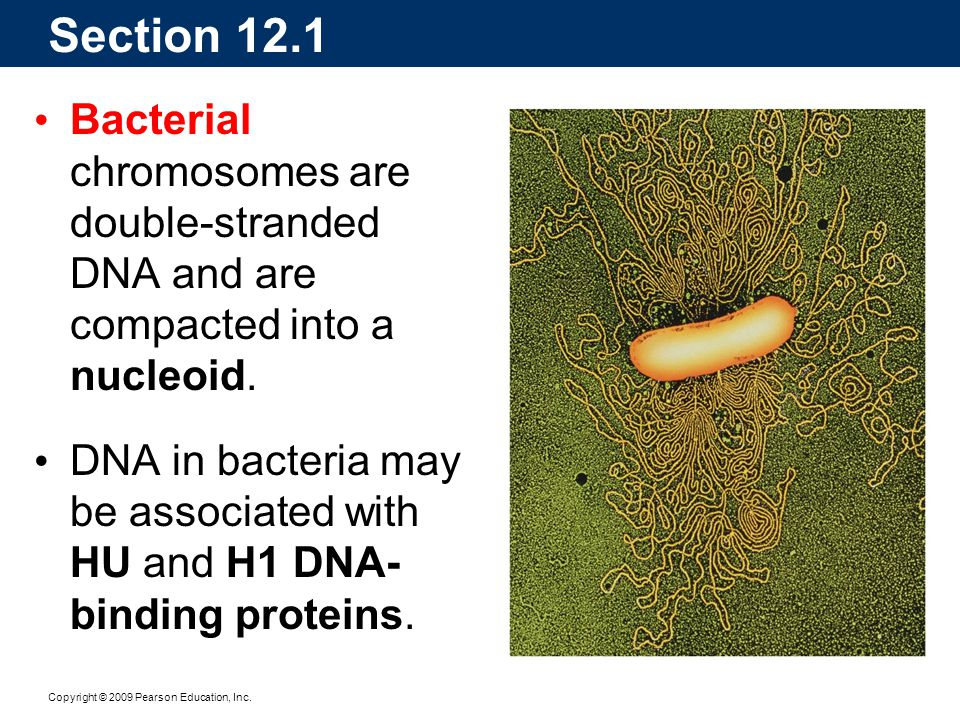 Section 12.1 Bacterial chromosomes are double-stranded DNA and are compacted into a nucleoid. DNA in bacteria may be associated with HU and H1 DNA- bi