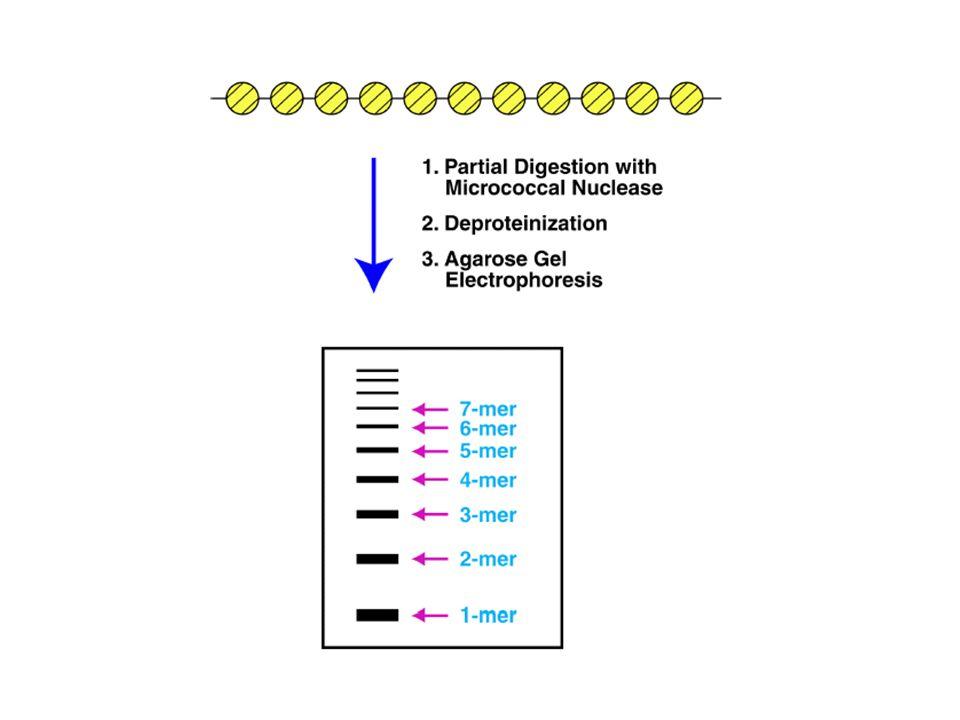 Attenuation: prokaryotic transcriptional regulation tryptophan operon leader region of trp mRNA Tryptophan level High: first 130 nt of mRNA  no protein Low: 7000 nt trp mRNA  Termination site: attenuator