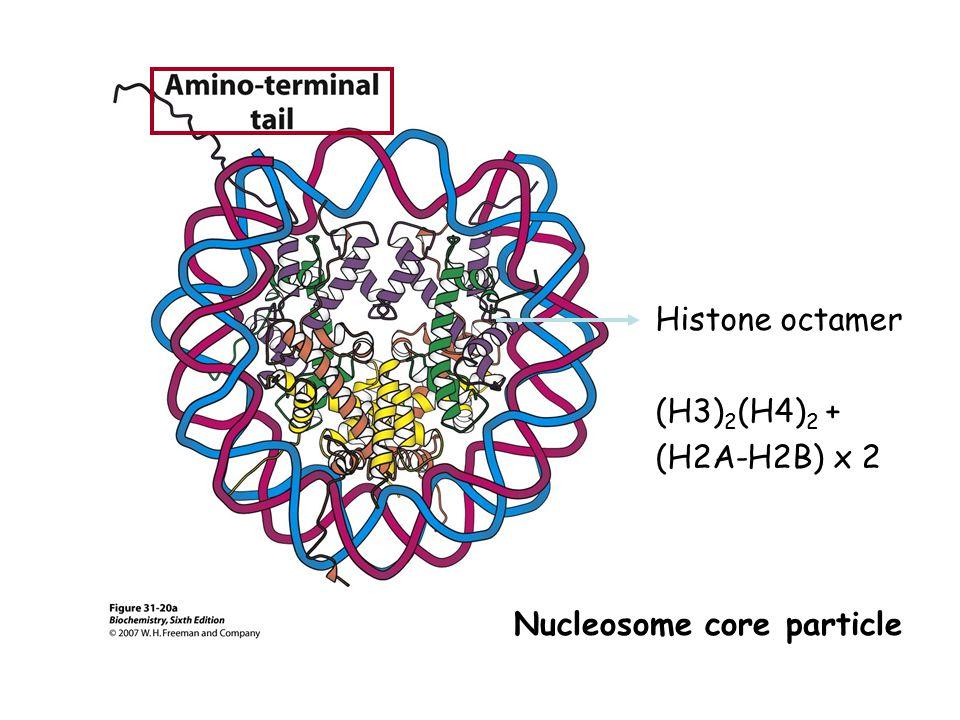 Coactivators catalyze acetylation of histone tail lysine