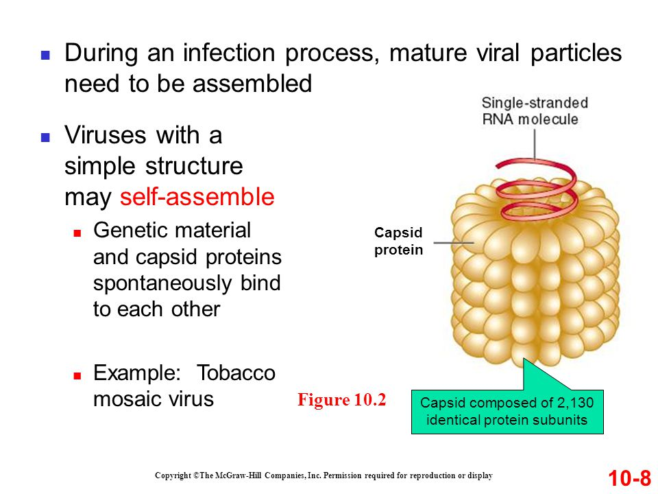 During an infection process, mature viral particles need to be assembled Copyright ©The McGraw-Hill Companies, Inc. Permission required for reproducti