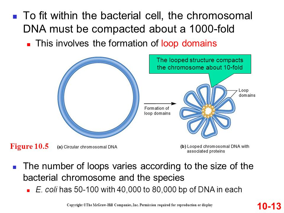 To fit within the bacterial cell, the chromosomal DNA must be compacted about a 1000-fold This involves the formation of loop domains Copyright ©The M