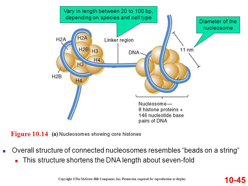 Copyright ©The McGraw-Hill Companies, Inc. Permission required for reproduction or display 10-45 Overall structure of connected nucleosomes resembles