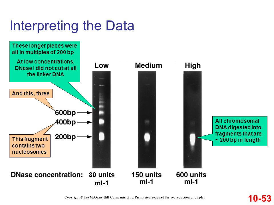 Interpreting the Data Copyright ©The McGraw-Hill Companies, Inc. Permission required for reproduction or display 10-53 30 units ml-1 All chromosomal D