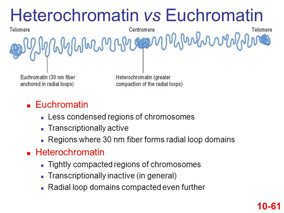 Euchromatin Less condensed regions of chromosomes Transcriptionally active Regions where 30 nm fiber forms radial loop domains Heterochromatin Tightly