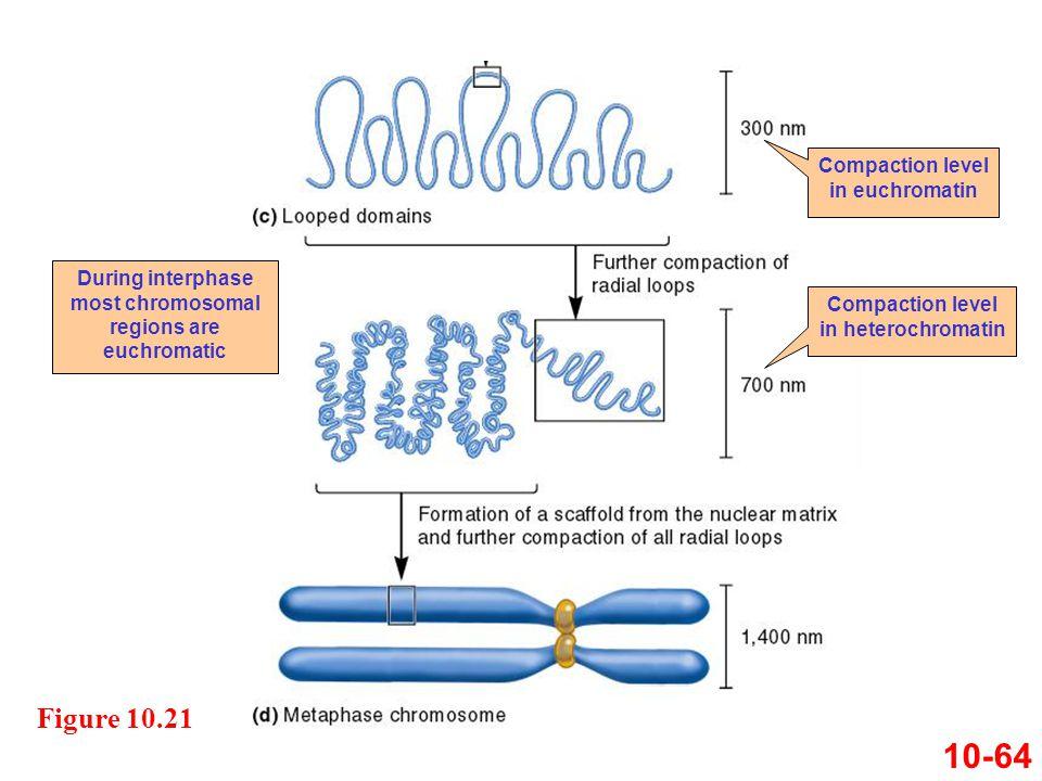 10-64 Figure 10.21 Compaction level in euchromatin Compaction level in heterochromatin During interphase most chromosomal regions are euchromatic