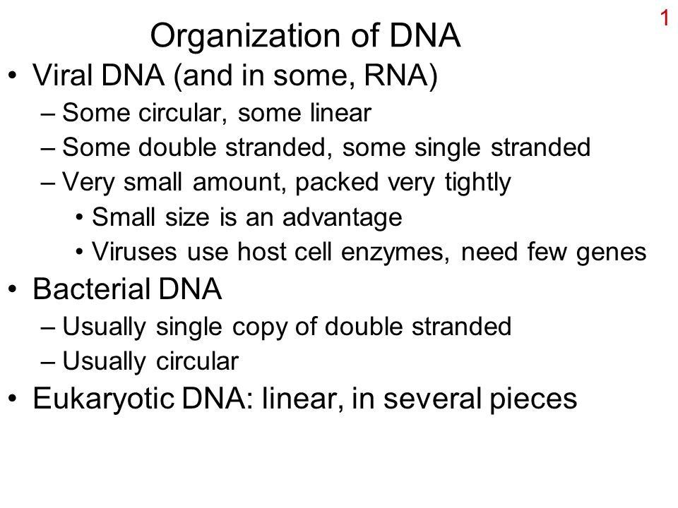 1 Organization of DNA Viral DNA (and in some, RNA) –Some circular, some linear –Some double stranded, some single stranded –Very small amount, packed very tightly Small size is an advantage Viruses use host cell enzymes, need few genes Bacterial DNA –Usually single copy of double stranded –Usually circular Eukaryotic DNA: linear, in several pieces