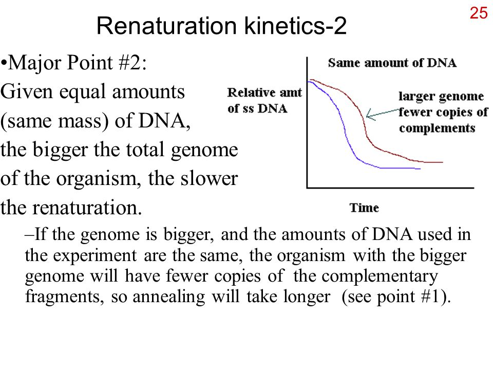 25 Renaturation kinetics-2 Major Point #2: Given equal amounts (same mass) of DNA, the bigger the total genome of the organism, the slower the renaturation.