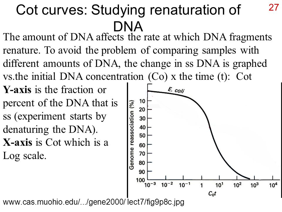 27 Cot curves: Studying renaturation of DNA The amount of DNA affects the rate at which DNA fragments renature. To avoid the problem of comparing samp