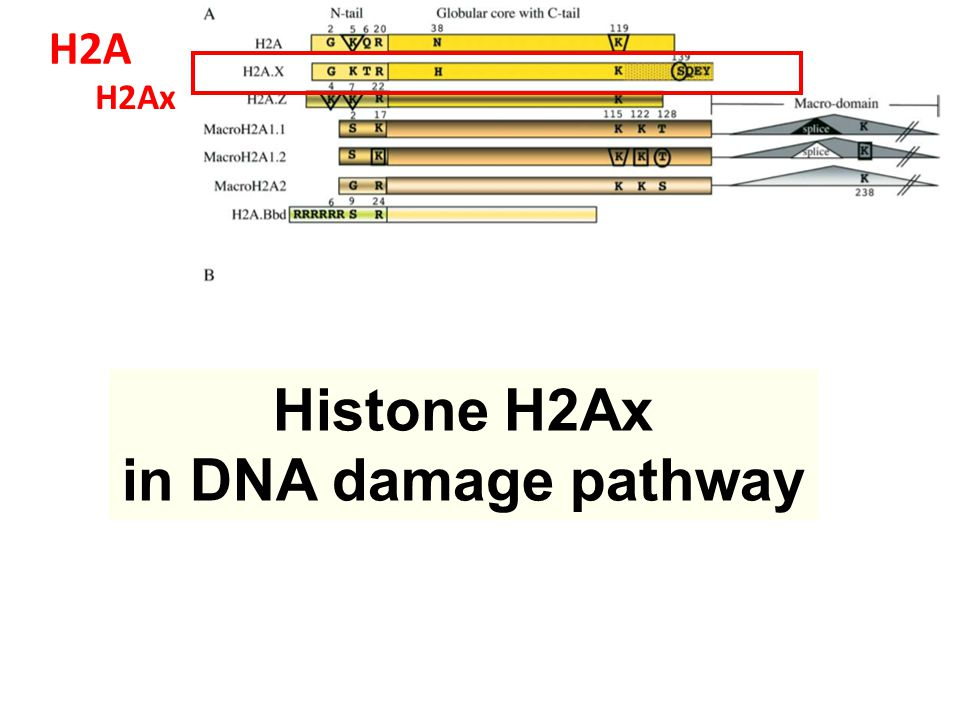 H2Ax H2A Histone H2Ax in DNA damage pathway