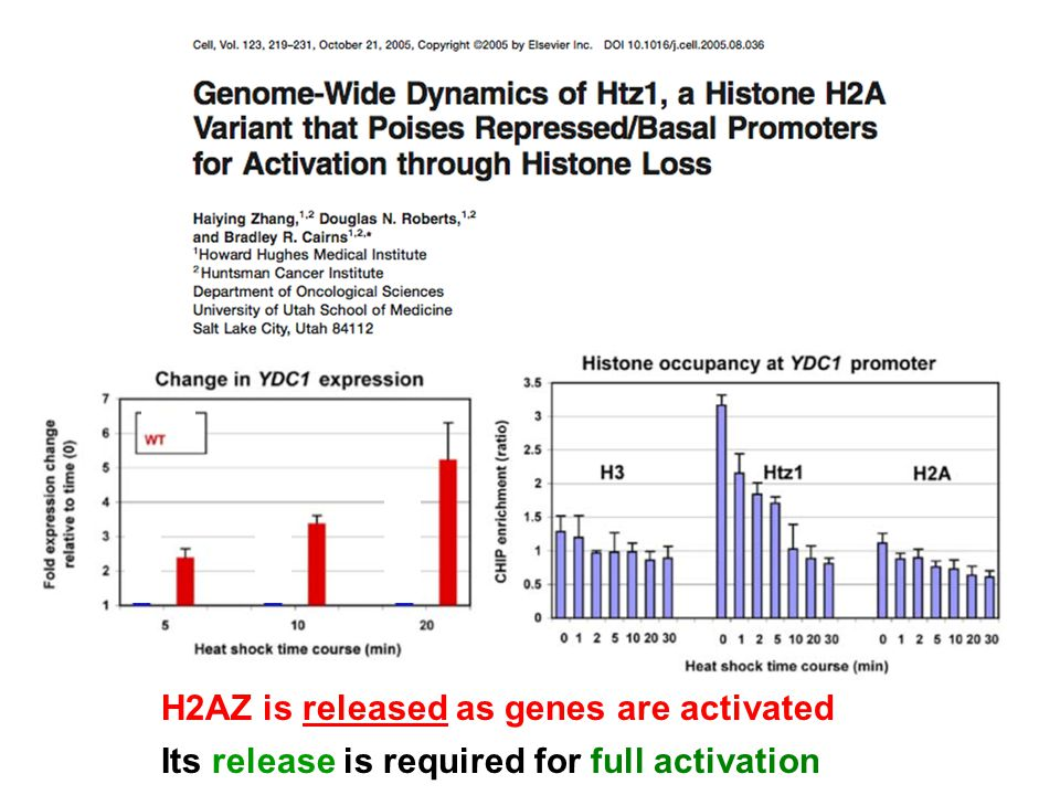 H2AZ is released as genes are activated Its release is required for full activation