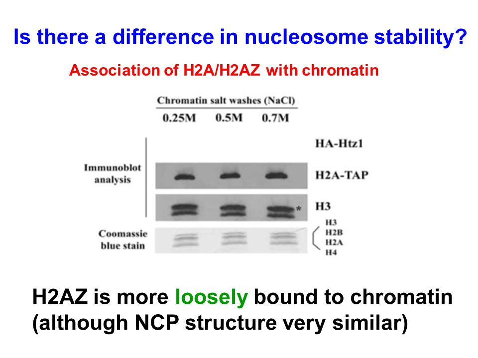 Association of H2A/H2AZ with chromatin H2AZ is more loosely bound to chromatin (although NCP structure very similar) Is there a difference in nucleosome stability?