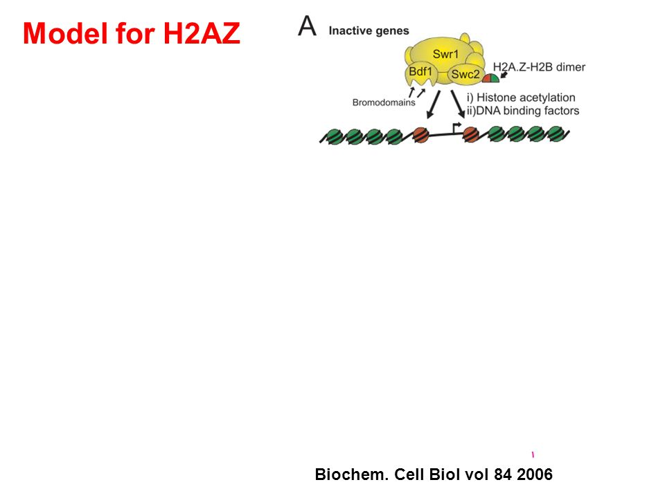 Biochem. Cell Biol vol 84 2006 Model for H2AZ