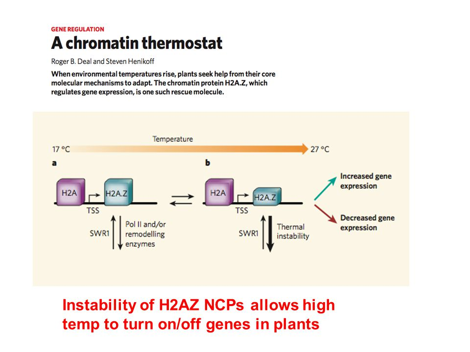 Instability of H2AZ NCPs allows high temp to turn on/off genes in plants