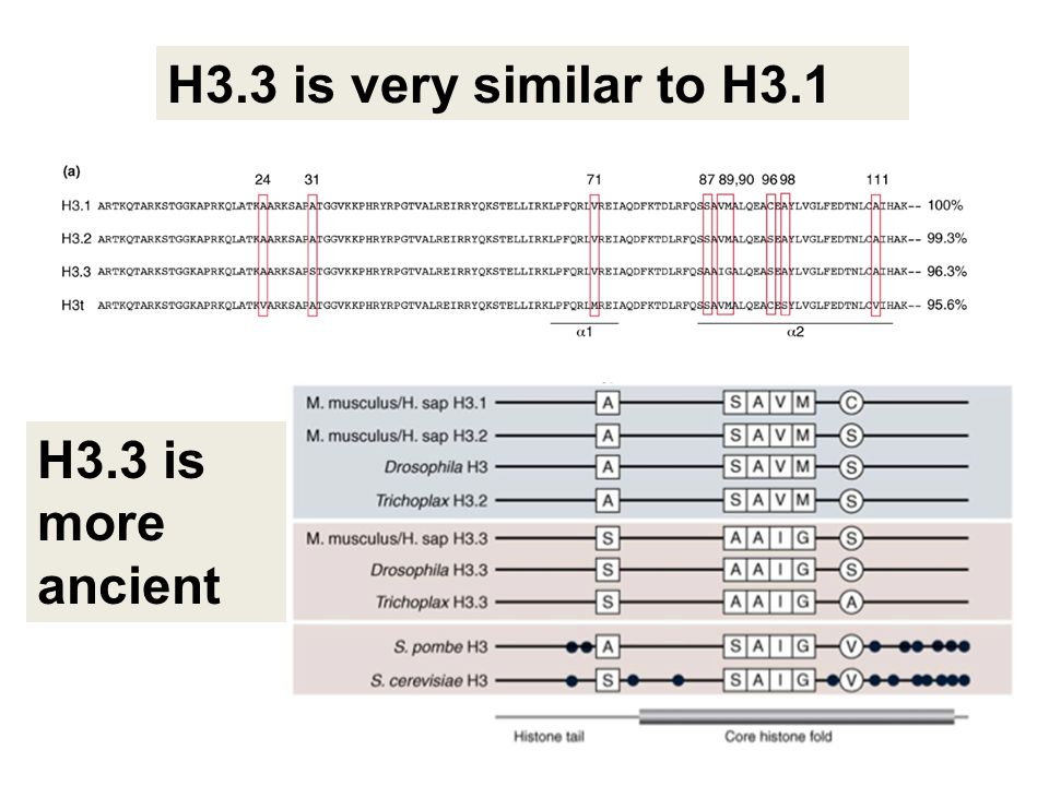 H3.3 is very similar to H3.1 H3.3 is more ancient