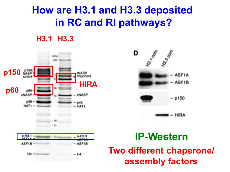 H3.1 H3.3 How are H3.1 and H3.3 deposited in RC and RI pathways.