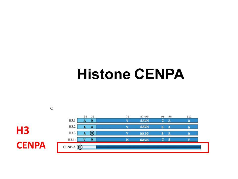 CENPA H3 H4 Histone CENPA