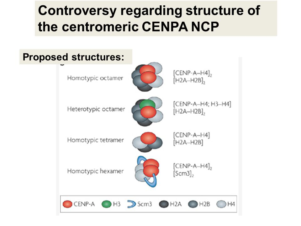 Controversy regarding structure of the centromeric CENPA NCP Proposed structures:
