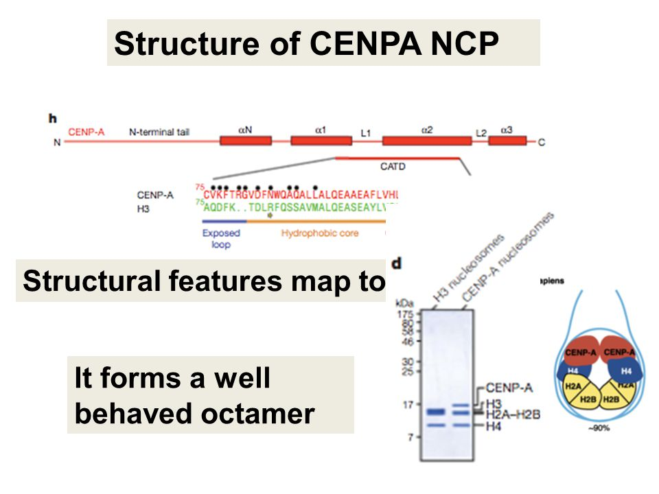 Structure of CENPA NCP Structural features map to CATD! It forms a well behaved octamer