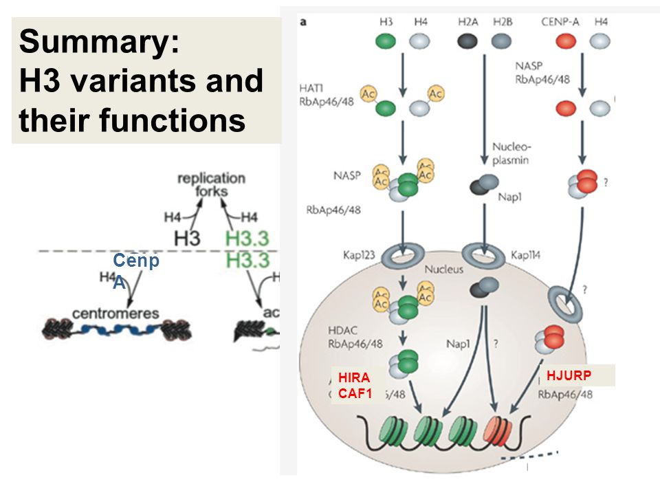 Cenp A HJURP HIRA CAF1 Summary: H3 variants and their functions