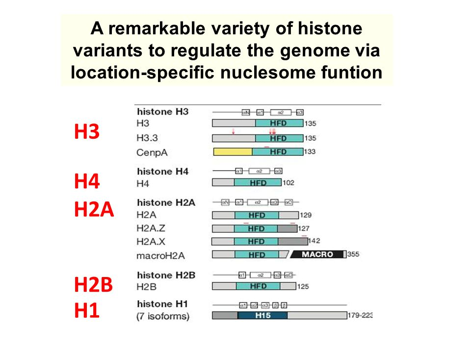 H2A H2B H3 H4 H1 A remarkable variety of histone variants to regulate the genome via location-specific nuclesome funtion