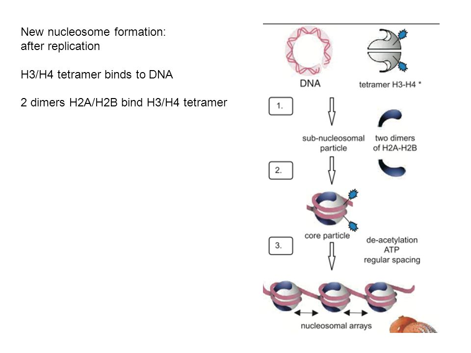 New nucleosome formation: after replication H3/H4 tetramer binds to DNA 2 dimers H2A/H2B bind H3/H4 tetramer