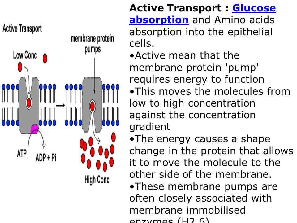 Active Transport : Glucose absorption and Amino acids absorption into the epithelial cells.Glucose absorption Active mean that the membrane protein pump requires energy to function This moves the molecules from low to high concentration against the concentration gradient The energy causes a shape change in the protein that allows it to move the molecule to the other side of the membrane.