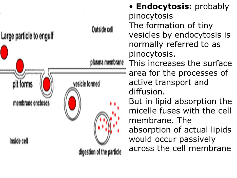 Endocytosis: probably pinocytosis The formation of tiny vesicles by endocytosis is normally referred to as pinocytosis.