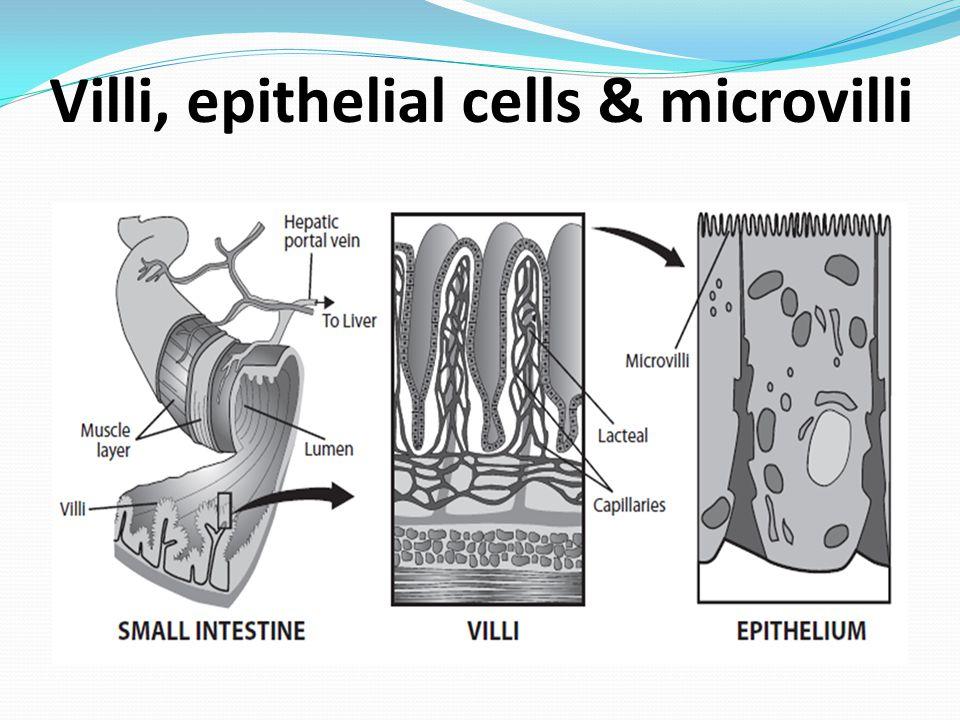 Villi, epithelial cells & microvilli
