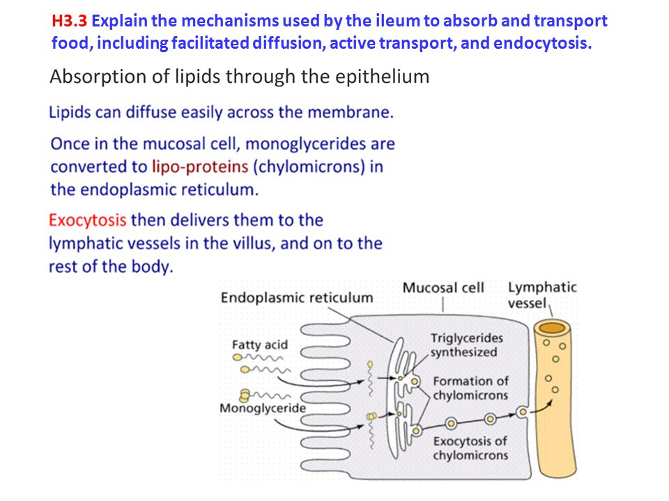 H3.3 Explain the mechanisms used by the ileum to absorb and transport food, including facilitated diffusion, active transport, and endocytosis.