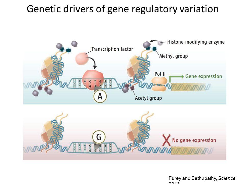 Furey and Sethupathy, Science 2013 Genetic drivers of gene regulatory variation