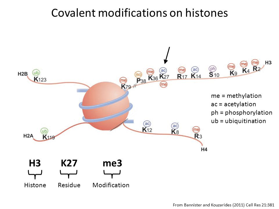H3 K27 me3 HistoneResidueModification From Bannister and Kouzarides (2011) Cell Res 21:381 Covalent modifications on histones me = methylation ac = acetylation ph = phosphorylation ub = ubiquitination