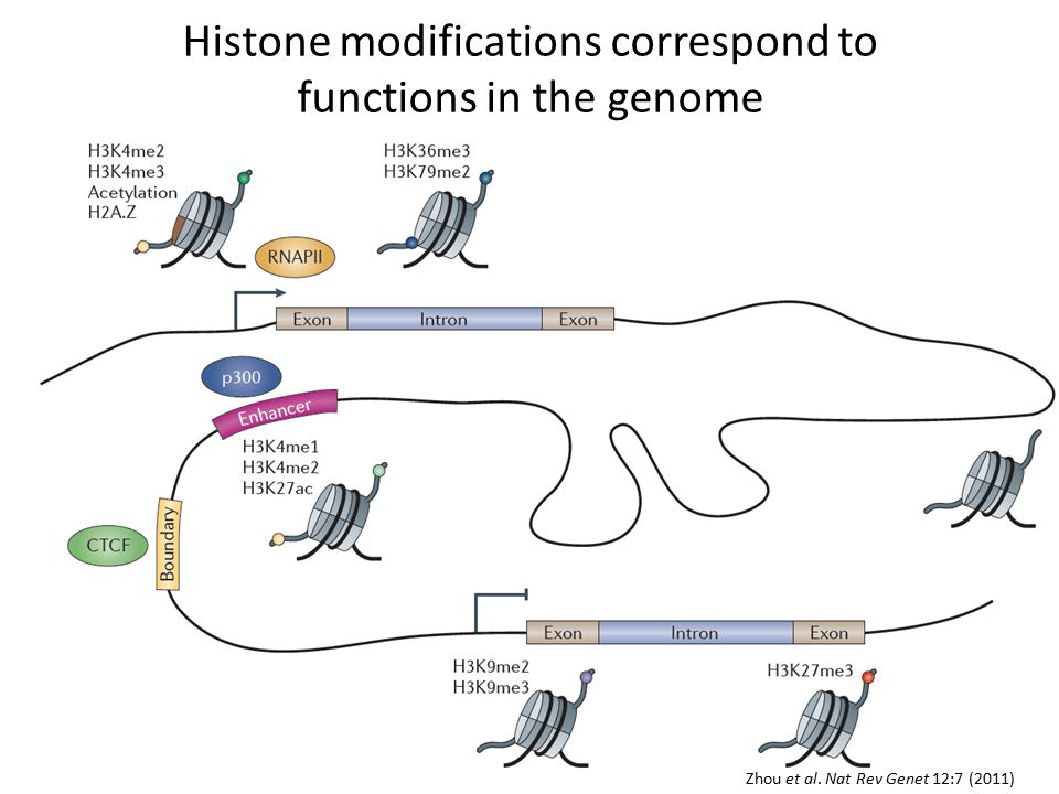 Zhou et al. Nat Rev Genet 12:7 (2011) Histone modifications correspond to functions in the genome