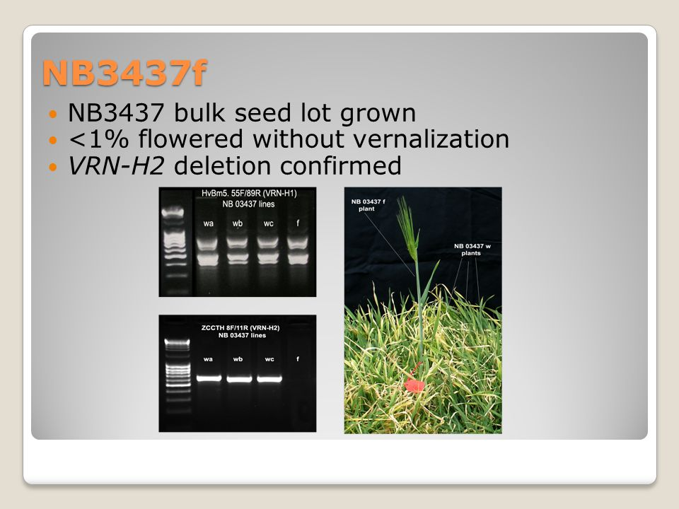 NB3437f NB3437 bulk seed lot grown <1% flowered without vernalization VRN-H2 deletion confirmed