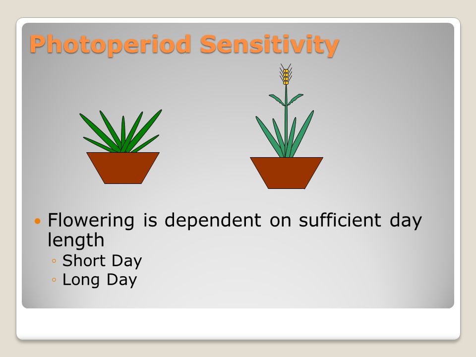 Photoperiod Sensitivity Flowering is dependent on sufficient day length ◦Short Day ◦Long Day