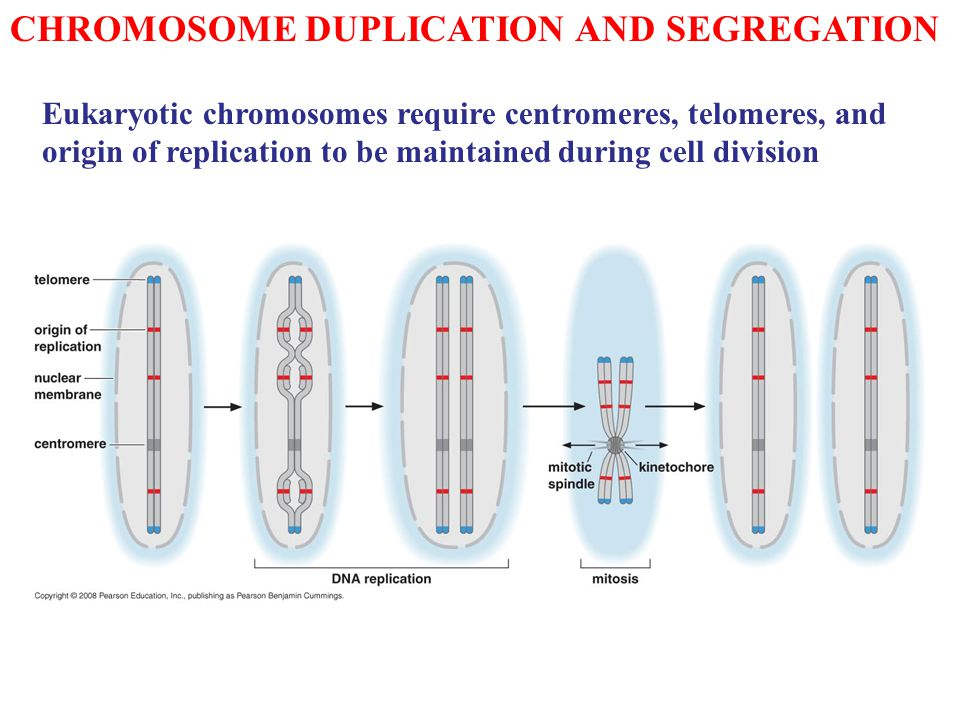 CHROMOSOME DUPLICATION AND SEGREGATION Eukaryotic chromosomes require centromeres, telomeres, and origin of replication to be maintained during cell d