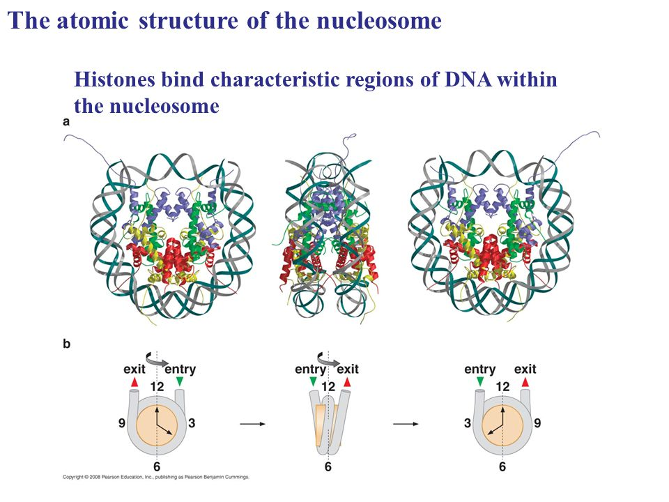 The atomic structure of the nucleosome Histones bind characteristic regions of DNA within the nucleosome