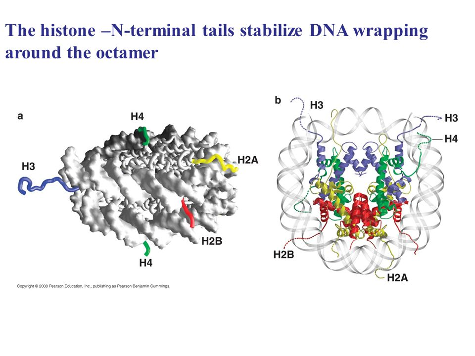 The histone –N-terminal tails stabilize DNA wrapping around the octamer