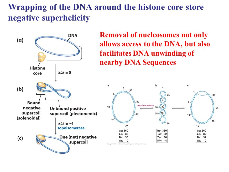 Wrapping of the DNA around the histone core store negative superhelicity Removal of nucleosomes not only allows access to the DNA, but also facilitate