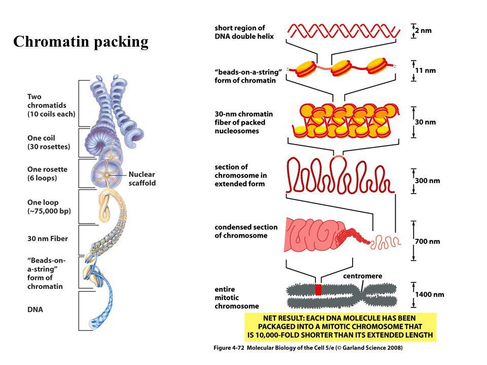 Chromatin packing