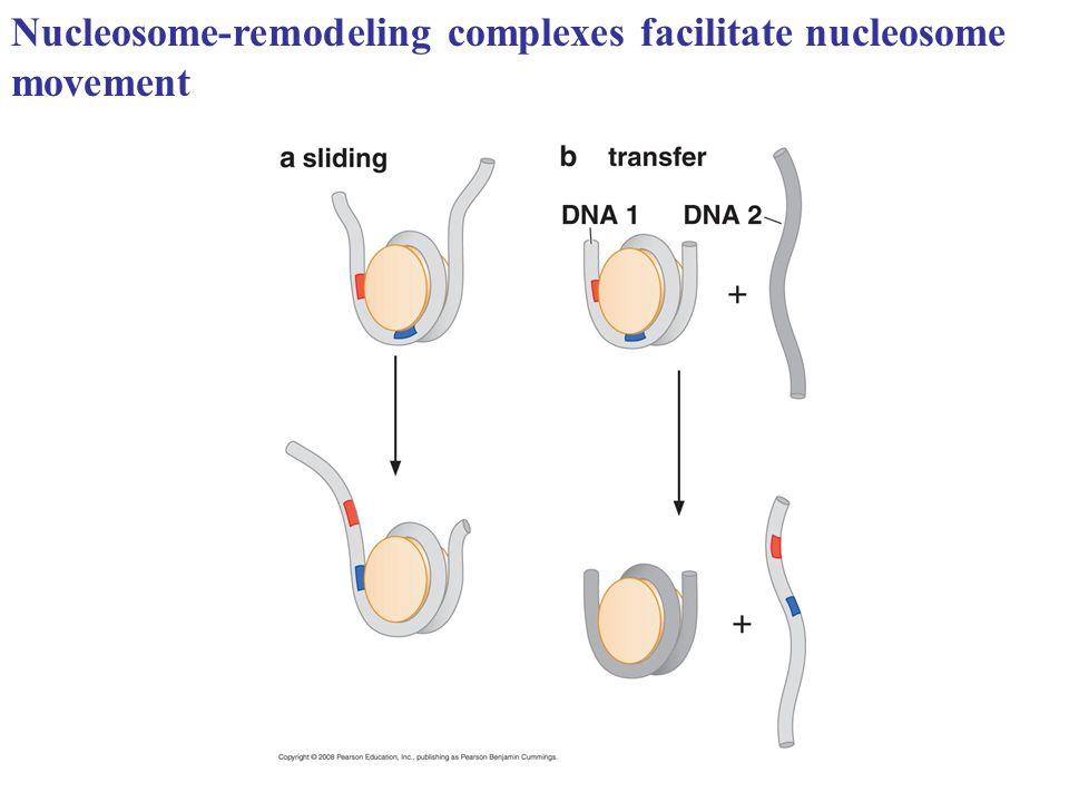 Nucleosome-remodeling complexes facilitate nucleosome movement