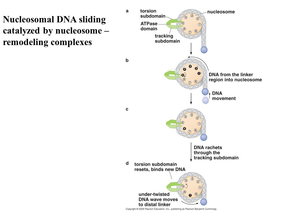 Nucleosomal DNA sliding catalyzed by nucleosome – remodeling complexes